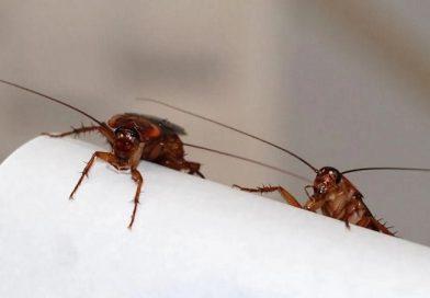 Alerta: Las cucarachas se están volviendo inmunes a los insecticidas