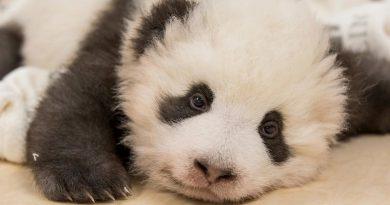 El tierno ataque de hipo de este oso panda bebé te va a enamorar
