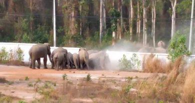Una manada de elefantes rompió un muro para regresar a la selva