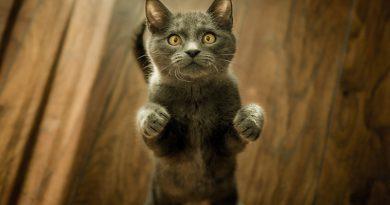 MeowTalk: la app que promete traducir los maullidos de tu gato