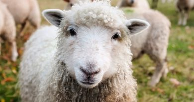 El video de las ovejas que ayuda a mantener la claridad mental en cuarentena